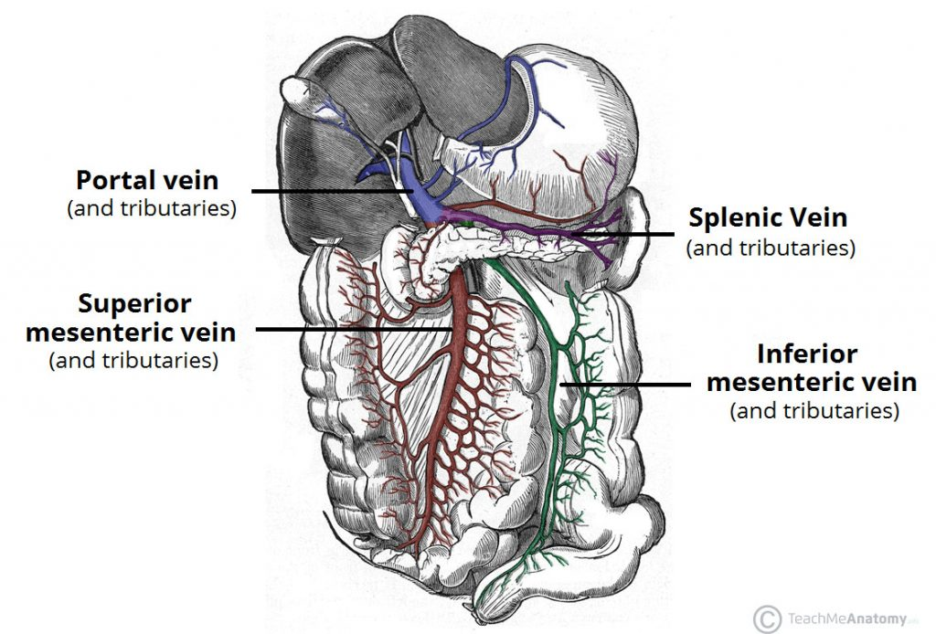 venous drainage of the abdomen teachmeanatomy rh teachmeanatomy info Vessels of the Hepatic Portal System Hepatic Portal Vein Model