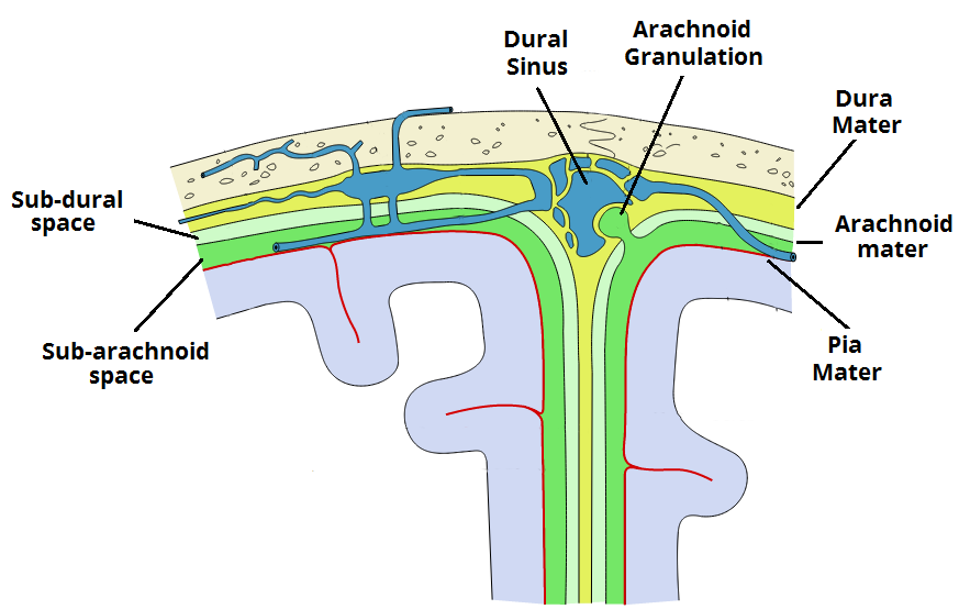 The Meninges Dura Arachnoid Pia Teachmeanatomy