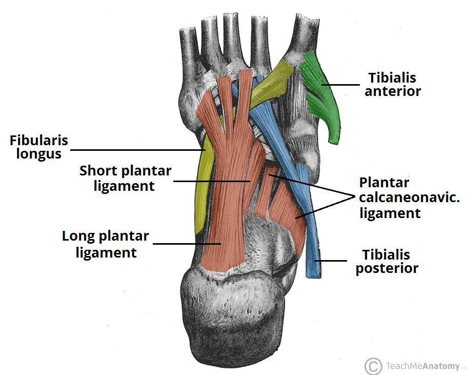 The Arches Of The Foot Longitudinal Transverse Teachmeanatomy