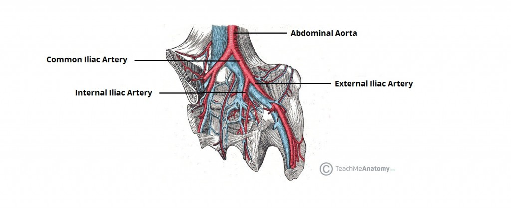 Arteries Of The Pelvis Internal Iliac Pudendal Vesical