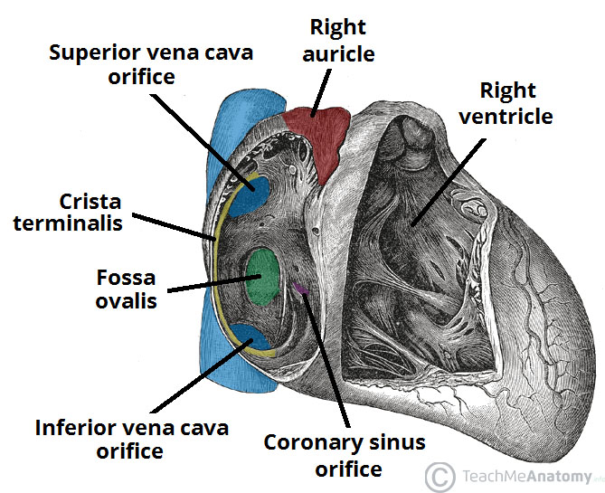 Chambers Of The Heart Atria Ventricles Teachmeanatomy