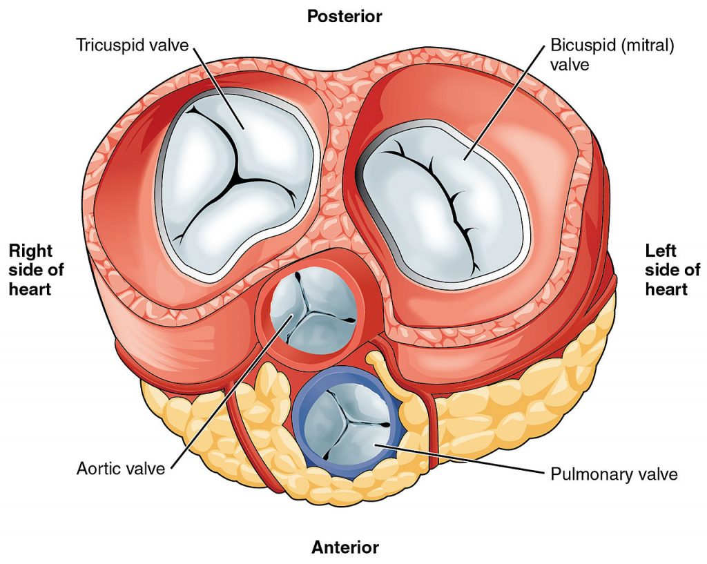 the heart valves - tricuspid - aortic - mitral - pulmonary