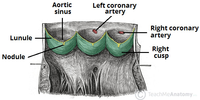 The Heart Valves Tricuspid Aortic Mitral Pulmonary
