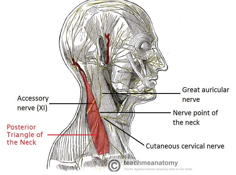 posterior triangle of the neck subdivisions teachmeanatomy