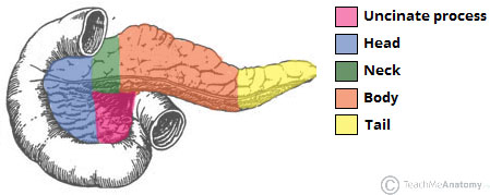Fig 1.1 - The parts of the pancreas