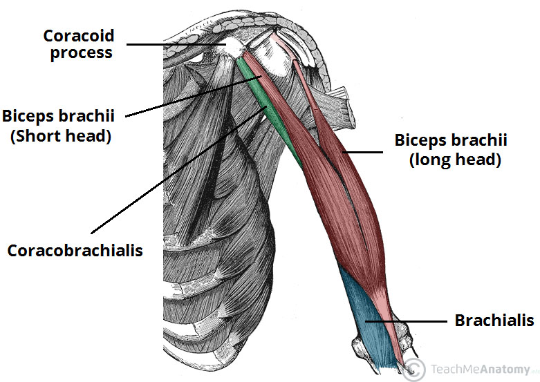 Muscles Of The Upper Arm Biceps Triceps Teachmeanatomy