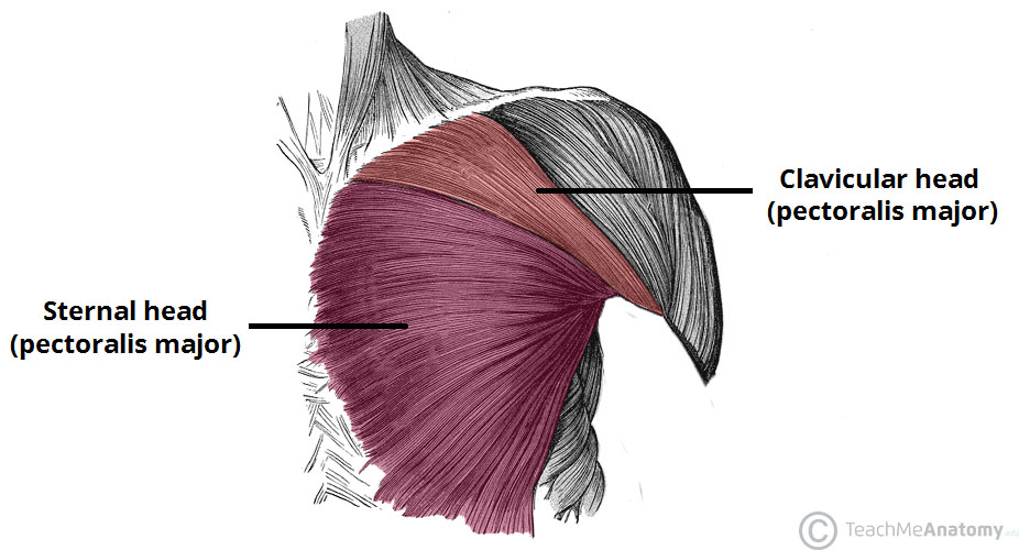Muscles of the Pectoral Region - Major - Minor - TeachMeAnatomy