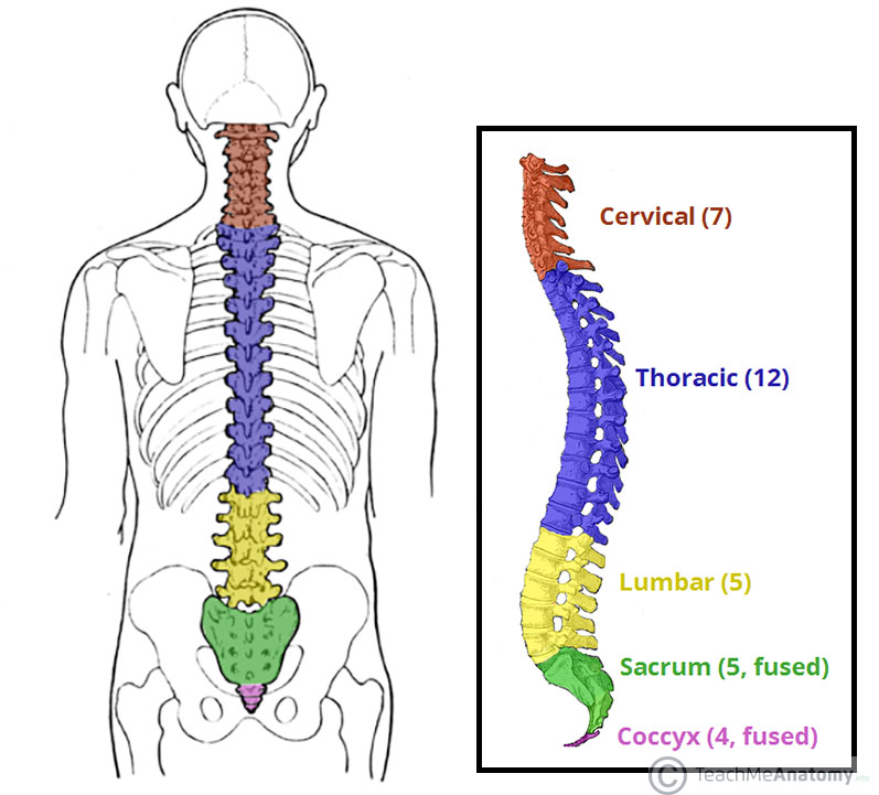 Fig 1 - The vertebral column viewed from the side. The five different regions are shown and labelled.