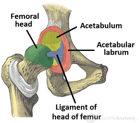 The Hip Joint - Articulations - Movements - TeachMeAnatomy