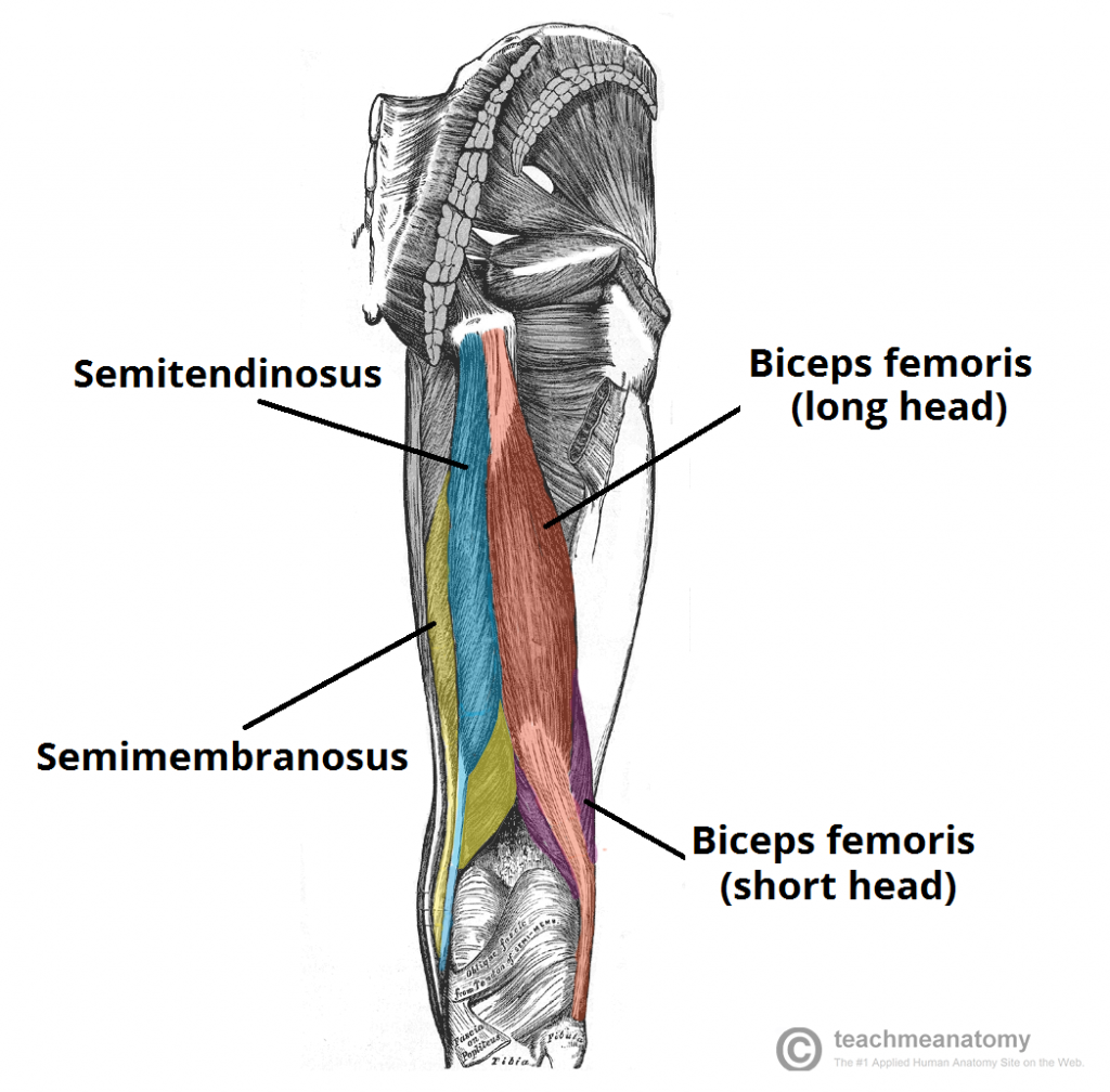 Muscles of the Posterior Thigh - Hamstrings - Damage ...  Posterior