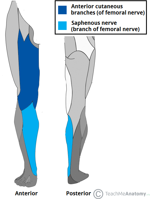 Fig 2 - The cutaneous innervation of the branches of the femoral nerve.