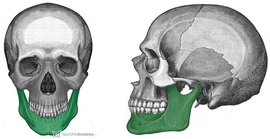 The Mandible Structure Attachments Fractures Teachmeanatomy