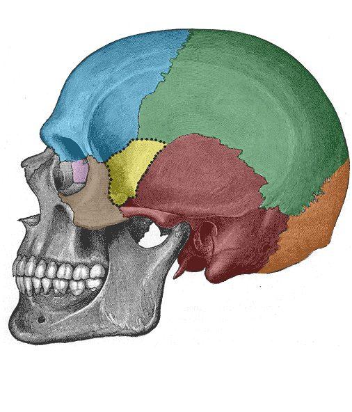 Bones Of The Skull Structure Fractures Teachmeanatomy