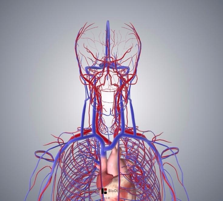 Cardiovascular System Teachmeanatomy