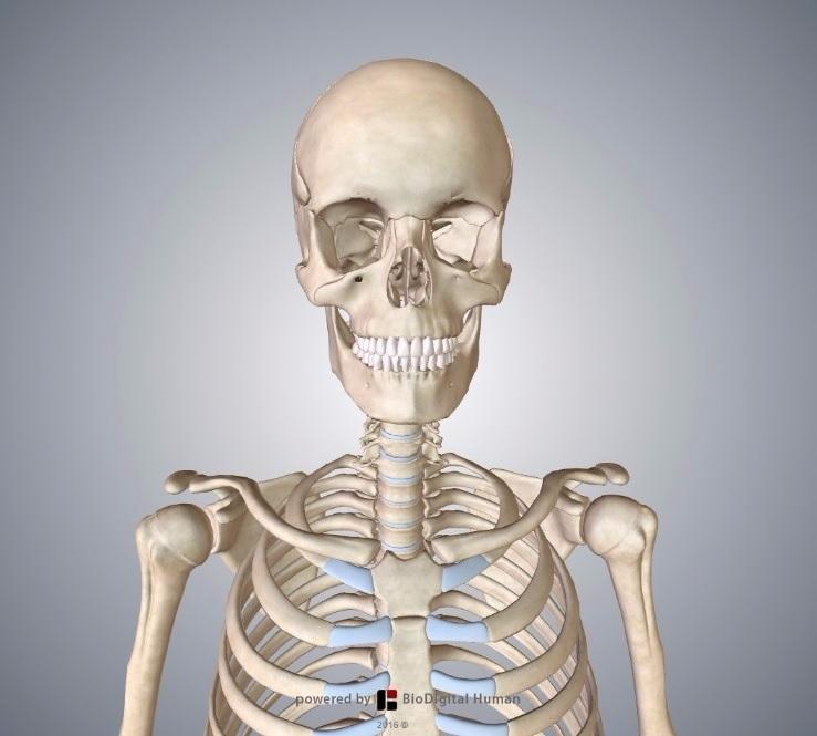 Skeletal System Teachmeanatomy