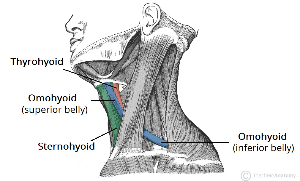 The Infrahyoid Muscles Attachments Teachmeanatomy