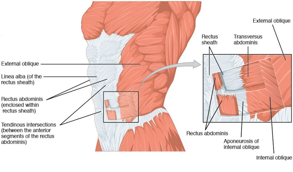 The Anterolateral Abdominal Wall - Muscles - TeachMeAnatomy