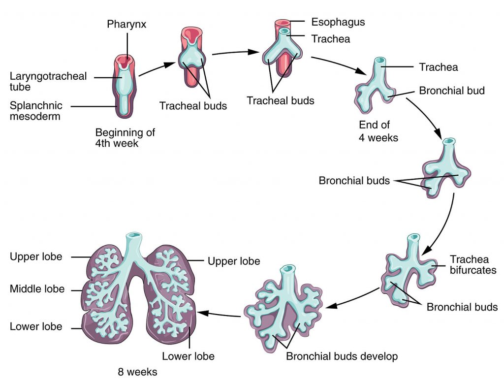 development of the respiratory system - terminal sac - teachmesurgery