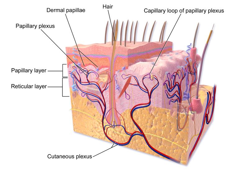 Skin Ultrastructure Epidermis Dermis Teachmeanatomy