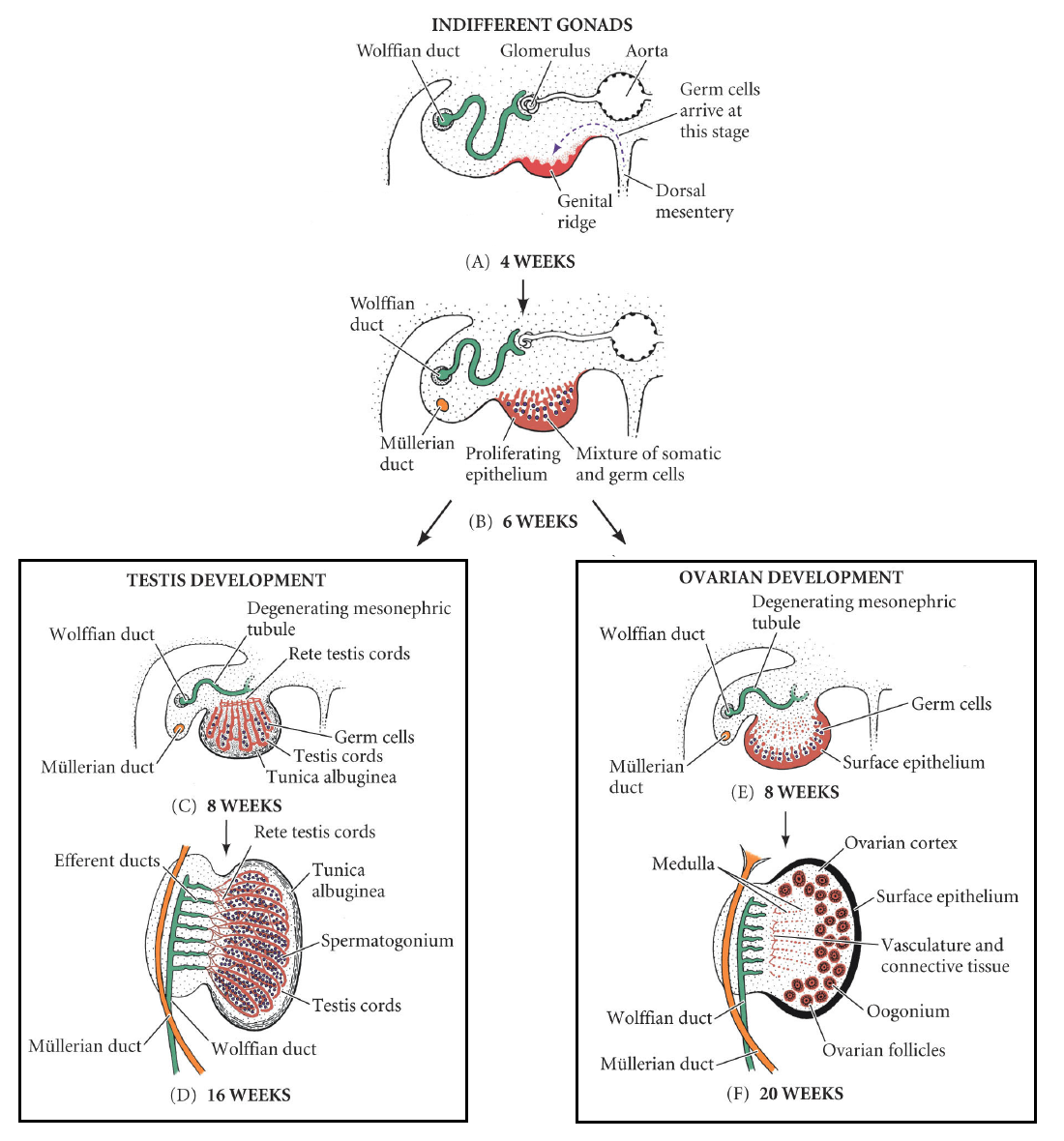 Development Of The Reproductive System Embryology Teachmeanatomy