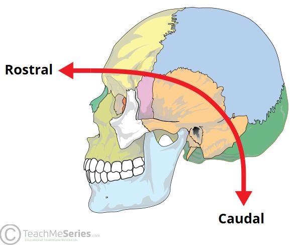 Embryological Terminology Dorsal Ventral Caudal Teachmeanatomy