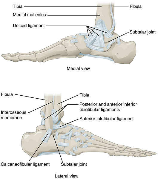 The Ankle Joint Articulations Movements Teachmeanatomy