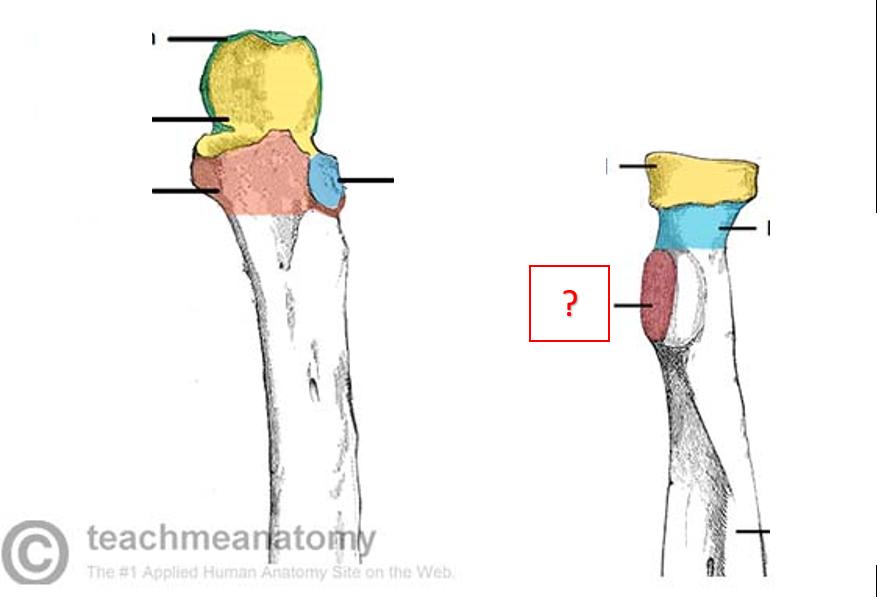 The Radioulnar Joints Teachmeanatomy