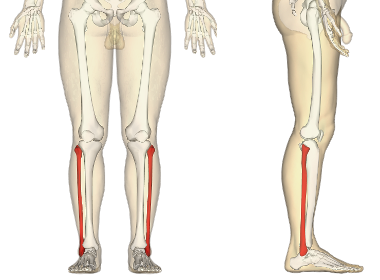 The Fibula Surfaces Articulations Fractures Teachmeanatomy