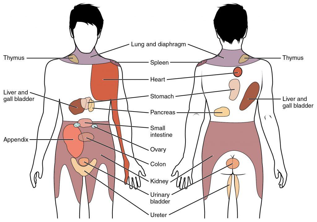 The Peritoneum Visceral Parietal Teachmeanatomy