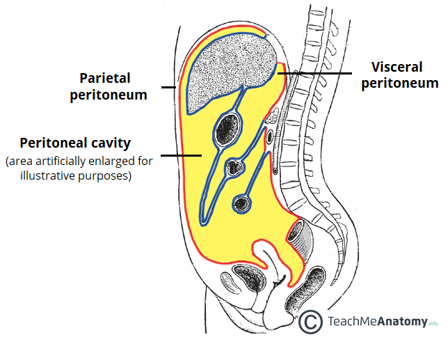 The Peritoneal Cavity Greater Sac Lesser Sac Teachmeanatomy