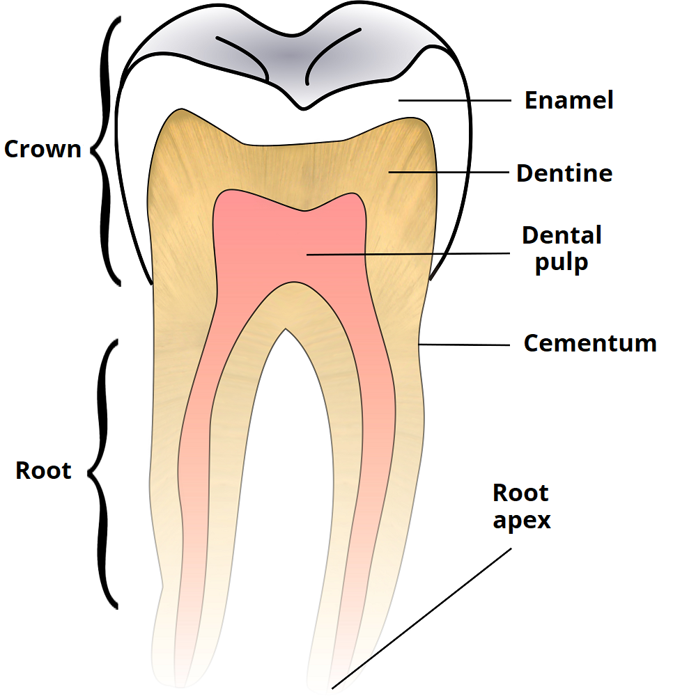 Child and Adult Dentition (Teeth) - Structure - Primary - Permanent ...