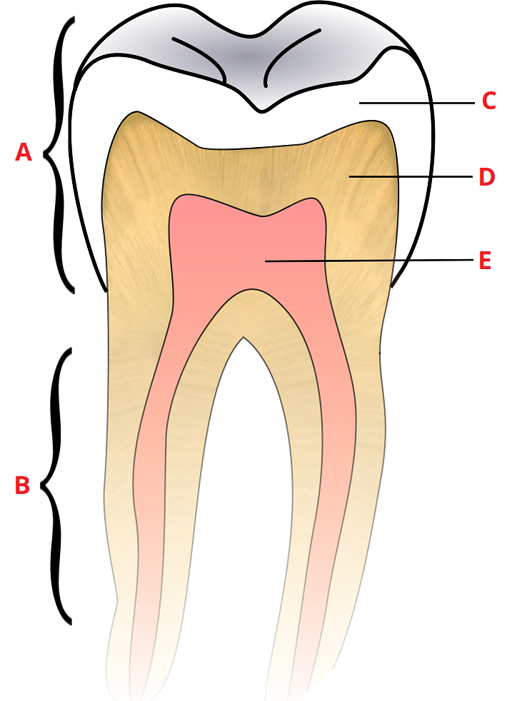 Child And Adult Dentition Teeth Structure Primary Permanent