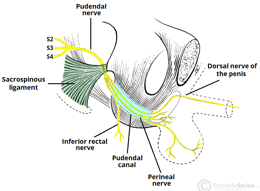 The Pudendal Nerve Anatomical Course Functions Teachmeanatomy