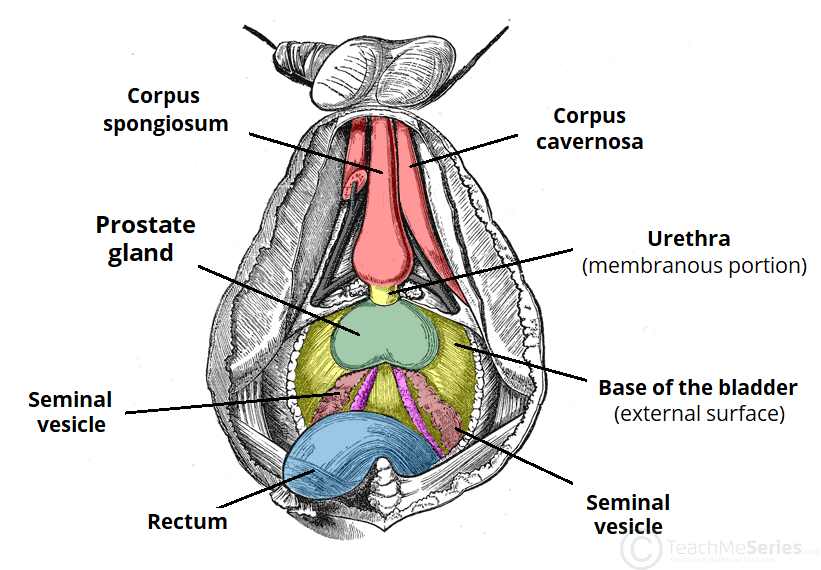 The Prostate Gland - Structure - Vasculature - Lymph - TeachMeAnatomy