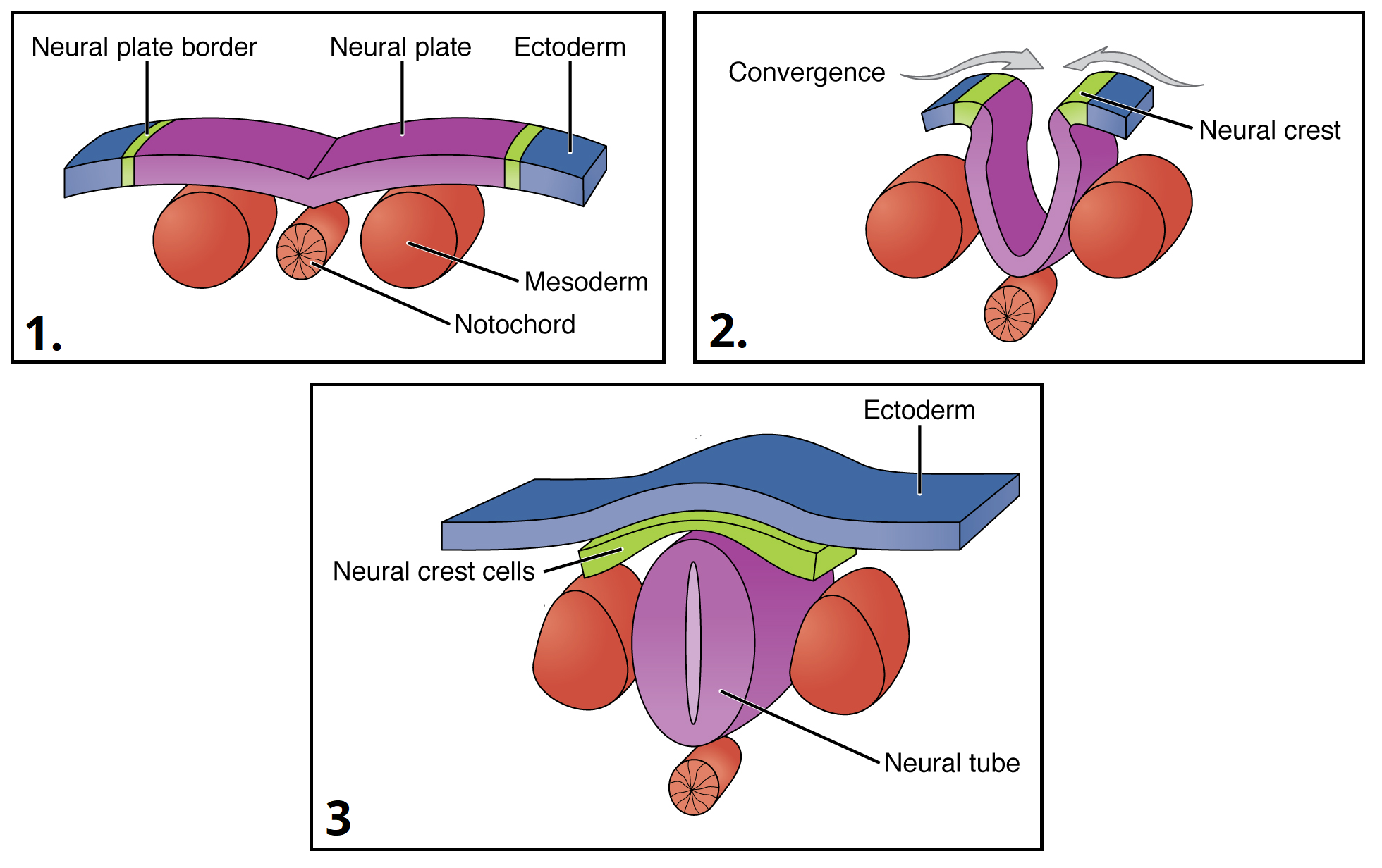 Development Of The Central Nervous System Spinal Cord Teachmeanatomy