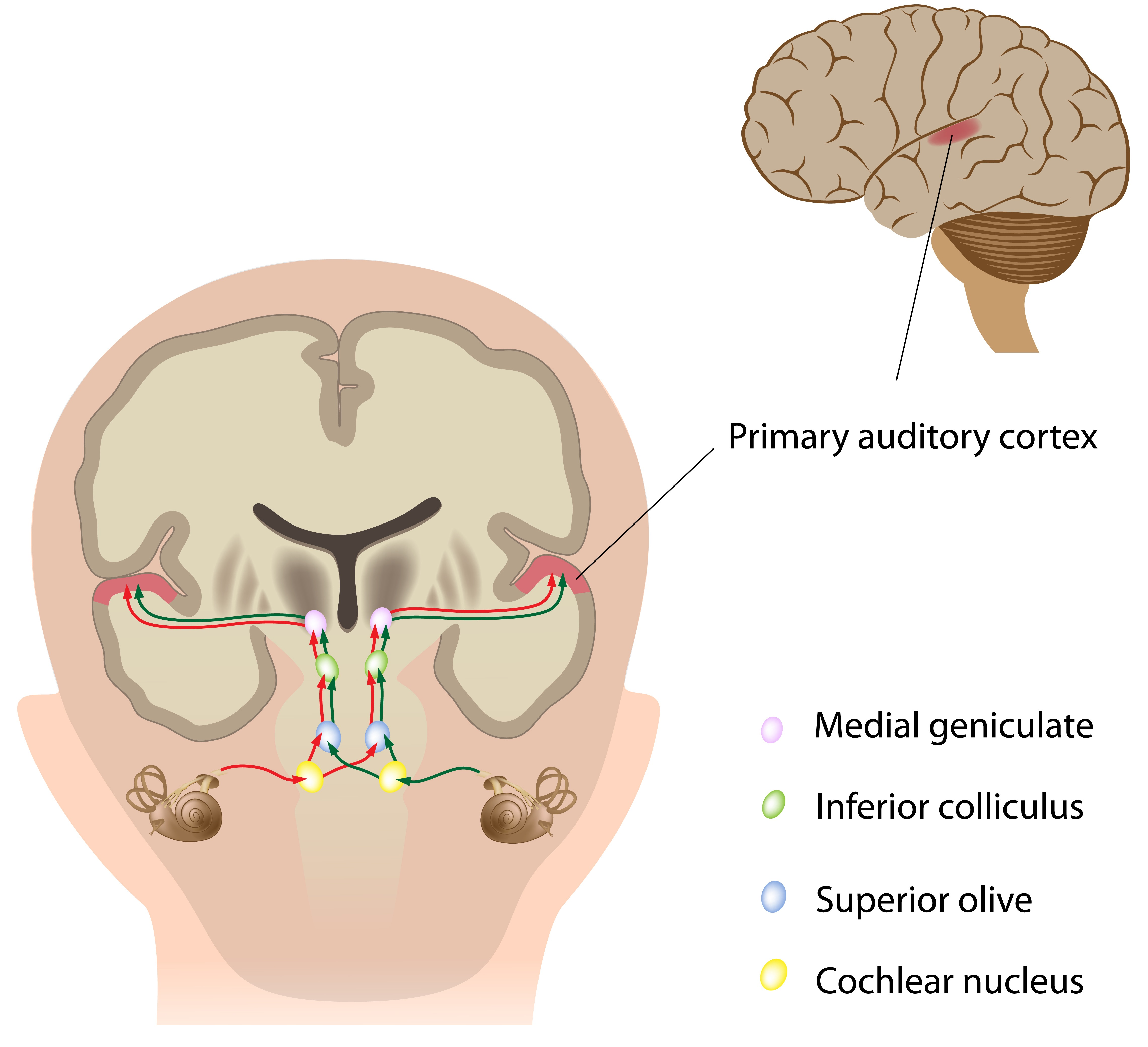 The Auditory Pathway Structures Of Ear Transduction Human Body Diagram Outline Click For Details Teachmeanatomy