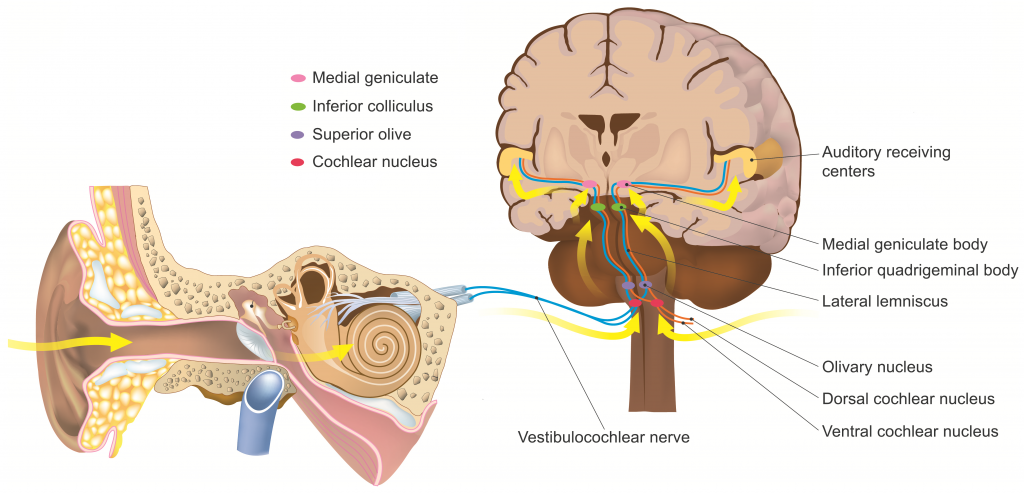 The Auditory Pathway - Structures of the Ear - Auditory Transduction ...