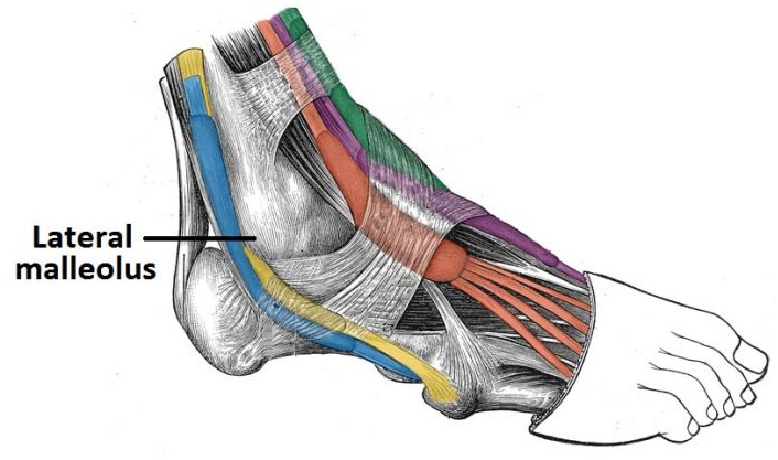 Muscles Of The Posterior Leg Attachments Actions Teachmeanatomy