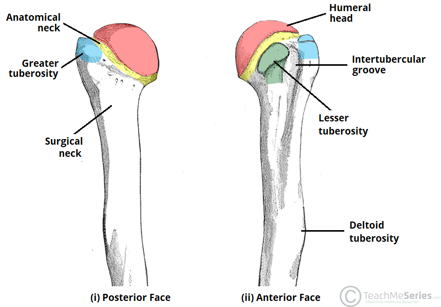 The Humerus Proximal Shaft Distal Teachmeanatomy