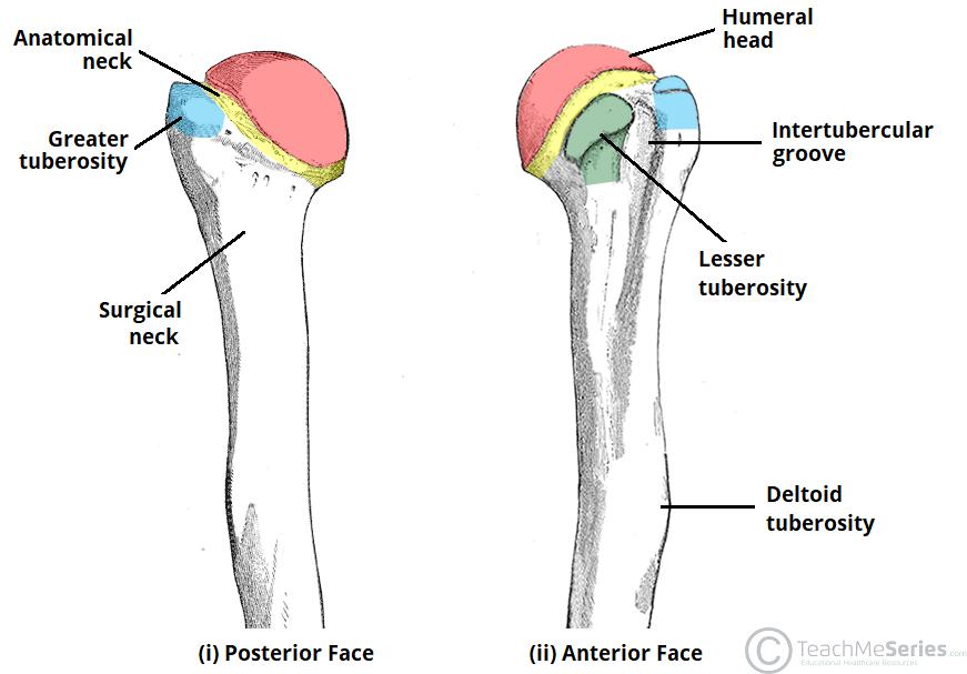 Bones Of The Upper Limb Teachmeanatomy