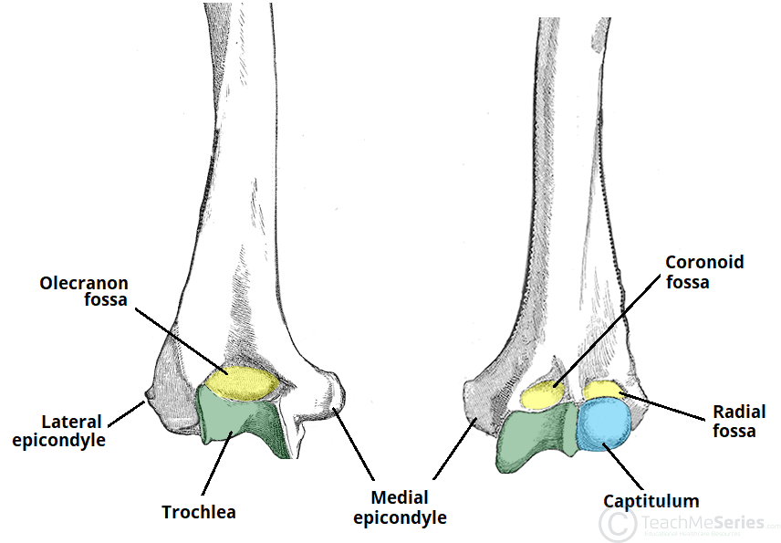 The Humerus Proximal Shaft Distal Teachmeanatomy
