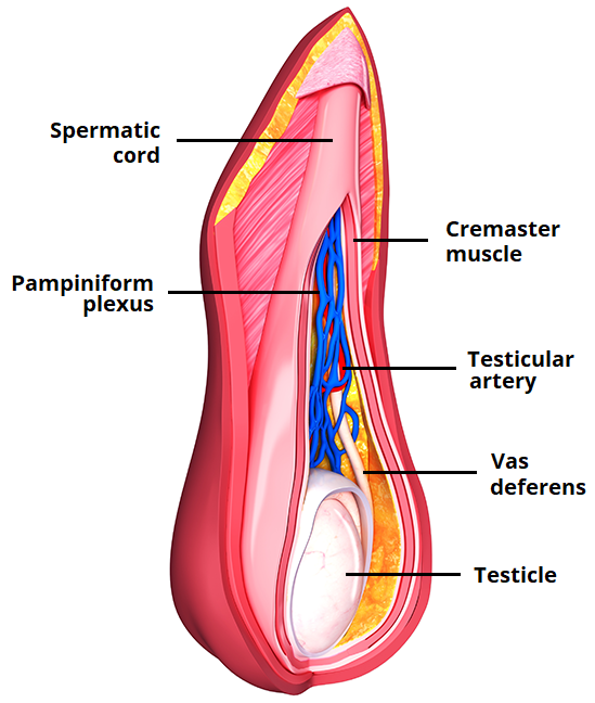 The Spermatic Cord Course Fascia Contents Teachmeanatomy