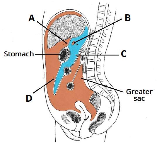 The Stomach Structure Neurovasculature Teachmeanatomy