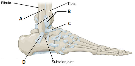 QUIZ Ankle Joint the ankle joint articulations movements teachmeanatomy