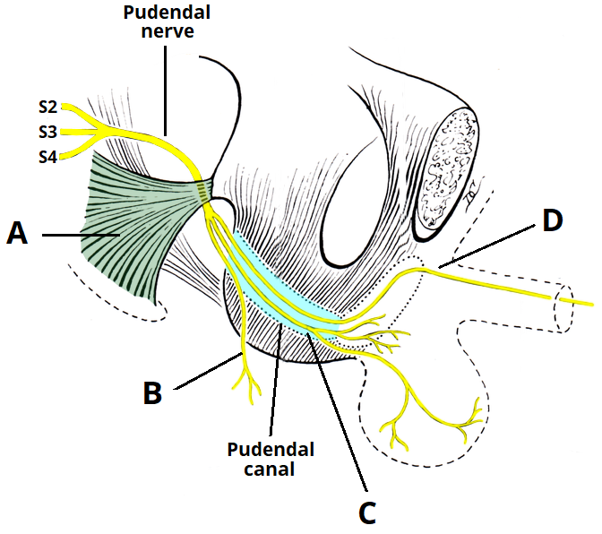 The Pudendal Nerve - Anatomical Course - Functions - TeachMeAnatomy