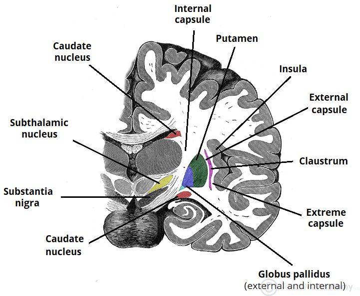 the basal ganglia - direct - indirect
