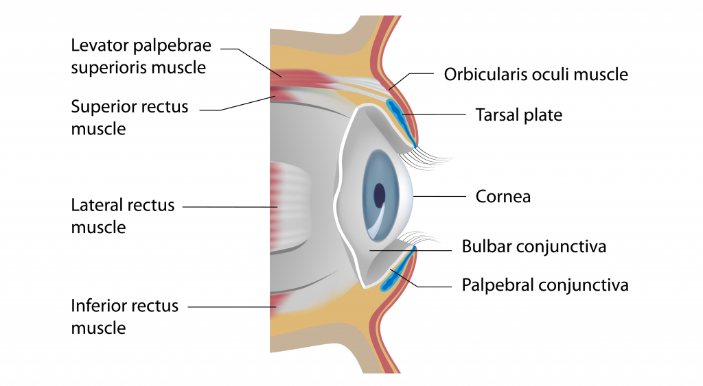 The Eyelids Conjunctiva Muscles Lacrimal Glands Teachmeanatomy