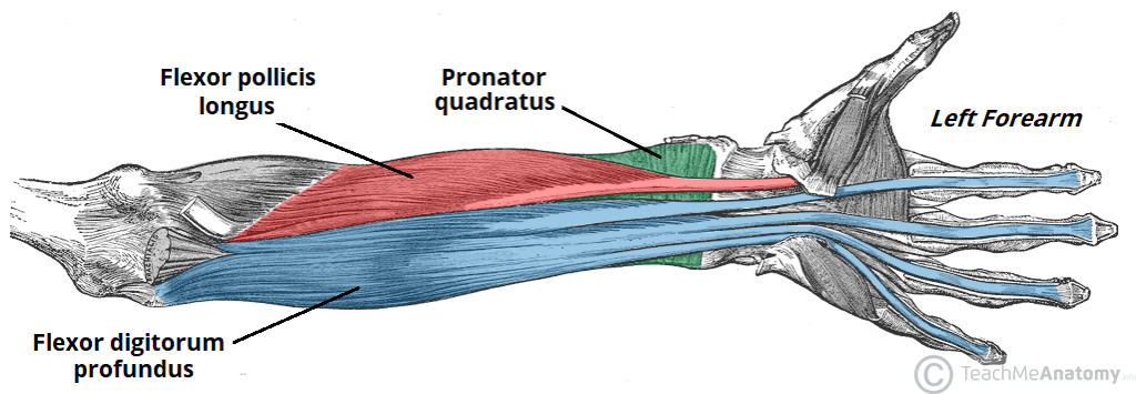 Muscles Of The Anterior Forearm Flexion Pronation Teachmeanatomy