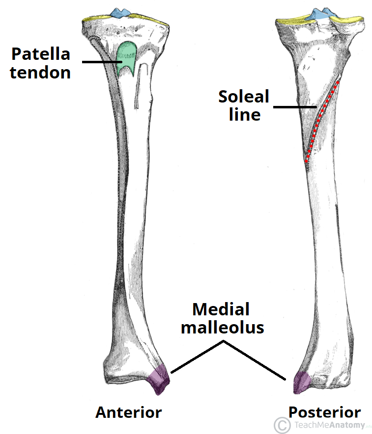 The Tibia Proximal Shaft Distal Teachmeanatomy