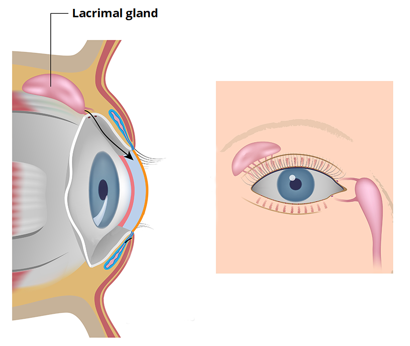 Lacrimal Glands And Apparatus Vasculature Innervation